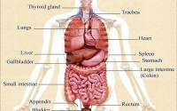 some internal organs of the human body-english