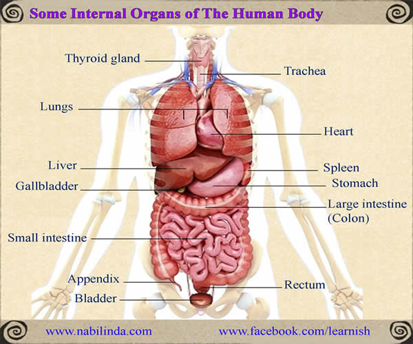 Some Internal Organs Of The Human Body English Vocabulary