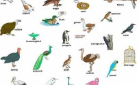 Birds - vocabulary